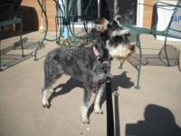 Schnauzer - Kyra - Adopted - Small - Adult - Female -
