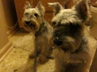 Schnauzer - Lily & Wyatt - Small - Adult - Female -
