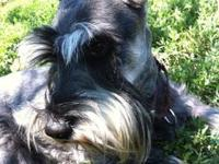 Schnauzer - Lucas - Small - Adult - Male - Dog WHAT A