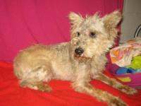 Schnauzer - Martin - Small - Adult - Male - Dog Come