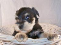 Schnauzer, CKC Mini; Born 8/28/12, Ready to go home