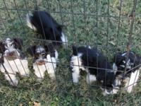 Toy sized schnauzers- 3 males, 2 ladies. White and