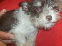Schnauzer - Pippen - Medium - Adult - Male - Dog Pippen