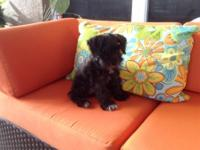 9 week old black male schnauzer. Looking for a forever