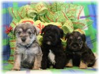 We have two beautiful litters of miniature Schnauzer