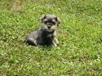 CKC registered Miniature Schnauzers. Teacup size.