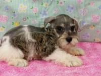 Reba is a hard to find Parti colored mini Schnauzer AKC