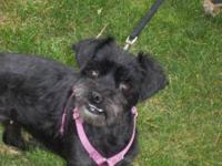 Schnauzer - Raven - Small - Young - Female - Dog Raven