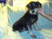 Schnauzer - Roger $399 - Small - Adult - Male - Dog