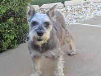 Schnauzer - Rosie - Small - Senior - Female - Dog Our