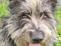 Schnauzer - Sammie - Medium - Adult - Male - Dog I am a