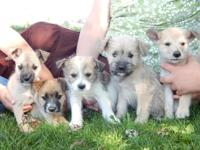 8 week old male Schnauzer Shiba puppies. Have first
