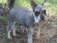 Schnauzer - Teague - Small - Adult - Male - Dog You