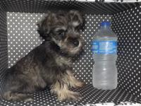 Very small Schnauzer 750.00. This is Tucker, he is a