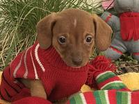My story Tiny super cute little male dachshund mix