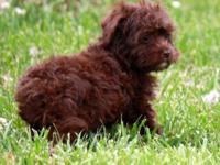Meet Heather! She is a Schnoodle. Her mother is a