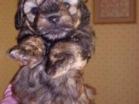 NON SHEDDING BREED! MALE $500 Schnoodle Puppy Very