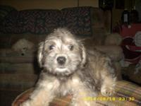 8 wk. old- 4 schnoodle puppies: Mom is a 12 # purebred
