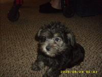 1 Black & silver 8 wk. old black Schnoodle Puppy: Shots