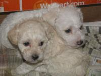 Schnoodle-oodle, (1) male (1)female. These puppies are