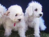 Mini Schnoodle puppies! Date of birth is 6/12/14! They