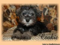 Adorable Schnoodle puppies 8 weeks. Our babiesare home