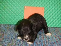 Schnoodle puppies in Macon, GA. DOB 7-8-15. Can leave