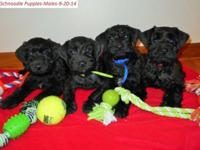 Schnoodle Puppies; 1st generation. * 2 male pups