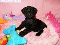 Schnoodle Puppies; 1st generation. 8 weeks old. We have