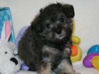 Chocolate/cream Schnoodles. A first generation cross