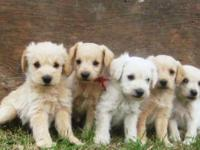 Mini Schnoodle puppies! Taking deposits now on our