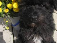 Schnoodle Male Puppy- 11 Weeks Old- Black w/White-Toy