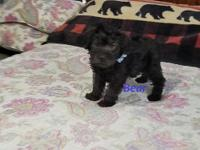 Little Bear is a 1st generation Schnoodle, his father