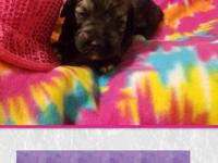 .Giant Schnoodle from AKC registered parents. mom is a