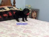 Smokey, is a 1st generation Schnoodle. His dew-claws