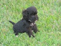 Cute Schnoodle pups. First shots and wormed. Available