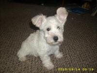 Schnoodle Puppies:  1 white male and 1 salt &