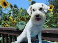 Murphy is a 2nd generation Schnoodle, her mother was a