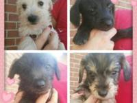 I have 4 adorable Schnoodles. 2 males, 2 females.