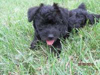 We have 2 litters of schnoodle puppies for sale.They