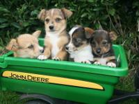 These adorable puppies are a great designer mix-