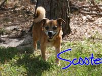 Scooter is a super sweet chihuahua mix rescued from