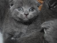 Gorgeous male and female Scottish Fold 2 years old