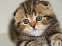 Beautiful Scottish Folds Kittens. Always have some