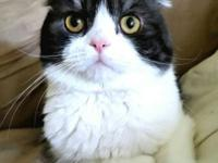 I have a gorgeous registered male Scottish Fold looking