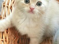 Beautiful, playful Scottish Fold baby boy, date of