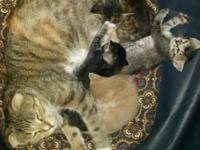 Scottish Fold Kittens for Sale Born 04/19/2015, 8 weeks