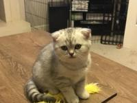 Scottish fold kittens. They are 11 weeks old males and