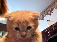 This little boy is half scottish fold however you could