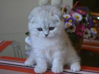 Scottish fold kittens are very affectionate and